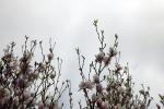 sudwalde-magnolienbaum-4964