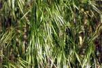 zittergrass-5181