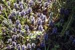 blau-bluehender-bodendecker-5156