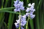 blume-blau-5055
