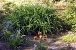rembrandt-tulpen-5052