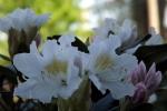rohdodendron-blueten-5072