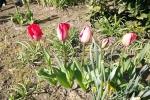 tulpen-5011