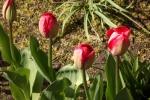 tulpen-5023