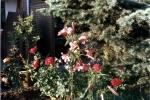 rosen-lilien