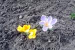 gelbe-und-lila-krokusse