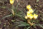 9077-krokusse-gelb