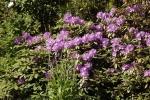 6049-bluehender-rhododendron-busch