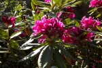 6052-rhododendron-bluete-rosa-rot