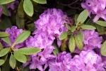 6119-rhododendron-lilia