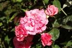 6168-zart-rote-rose