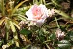6218-rosa-rose