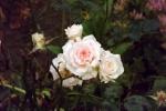 6260-pastell-roeschen