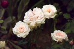 6261-pastell-roeschen