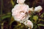 6263-pastell-roeschen