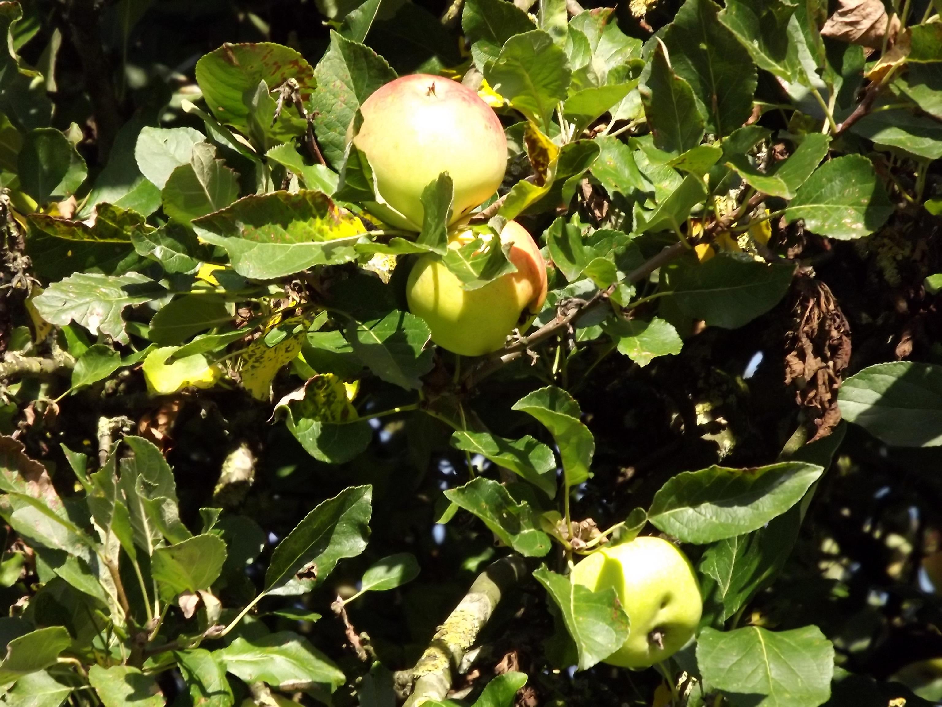 6384-aepfel-am-apfelbaum