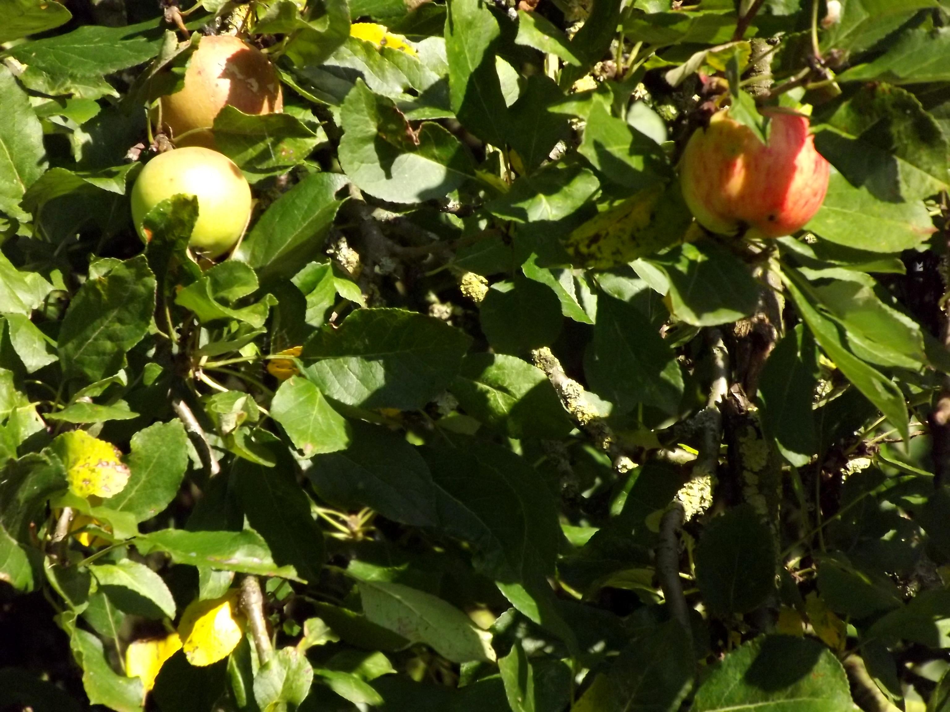 6386-aepfel-am-apfelbaum