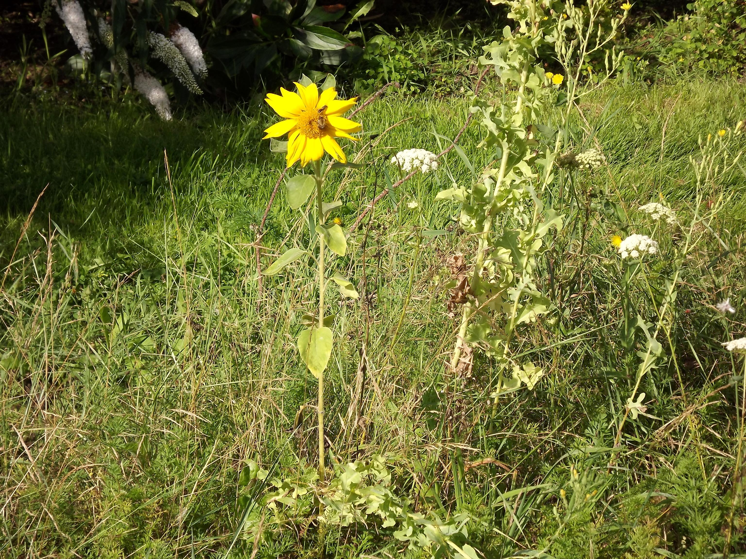 6410-klein-sonnenblume-wiese