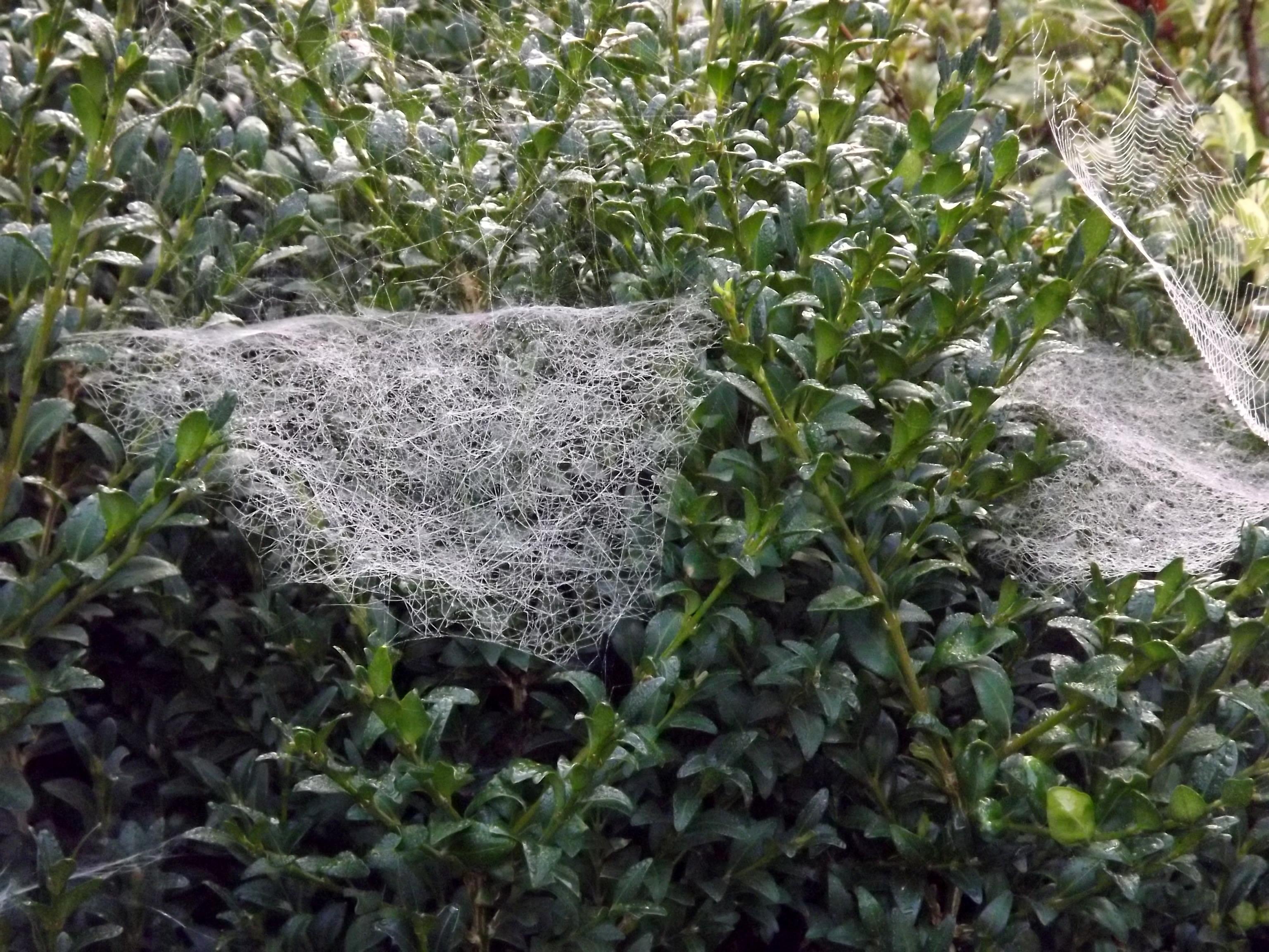 6480-spinnennetz-busch-buchsbaum