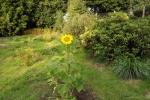 6350-bluehende-sonnenblume