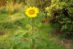 6354-bluehende-sonnenblume