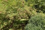 6364-hollunder-beeren-gruen-durchgang