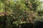 6380-unreife-hollunder-dolden