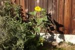 6382-sonnenblume-huette