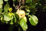 6387-aepfel-am-apfelbaum