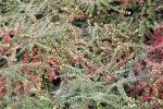 6473-bodendecker-fruechte-rot-spinnennetz