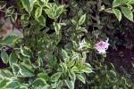 6479-strauch-rosa-blueten