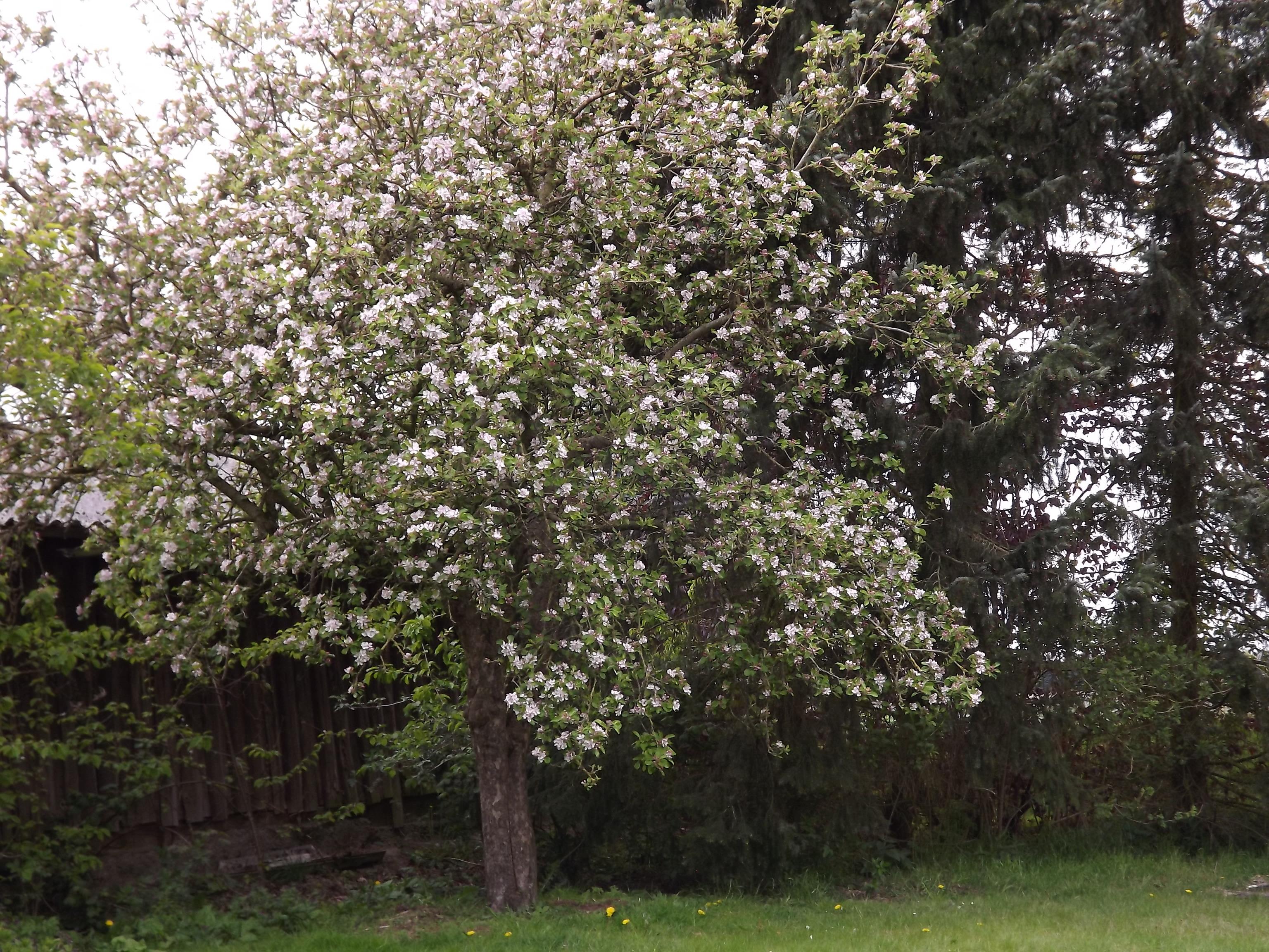 5959-bluehender-apfelbaum