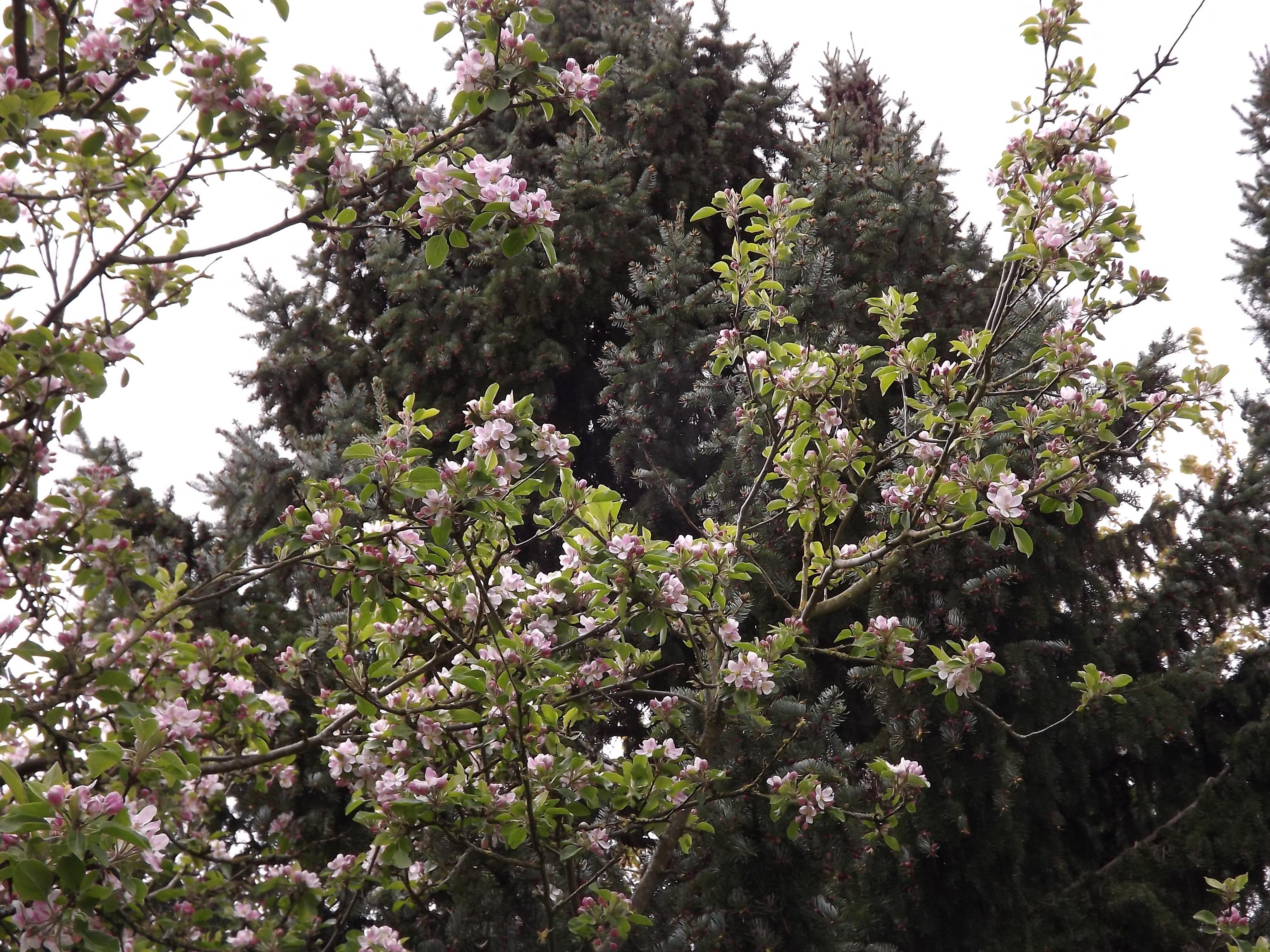 5960-apfelbaum-ast-blueten