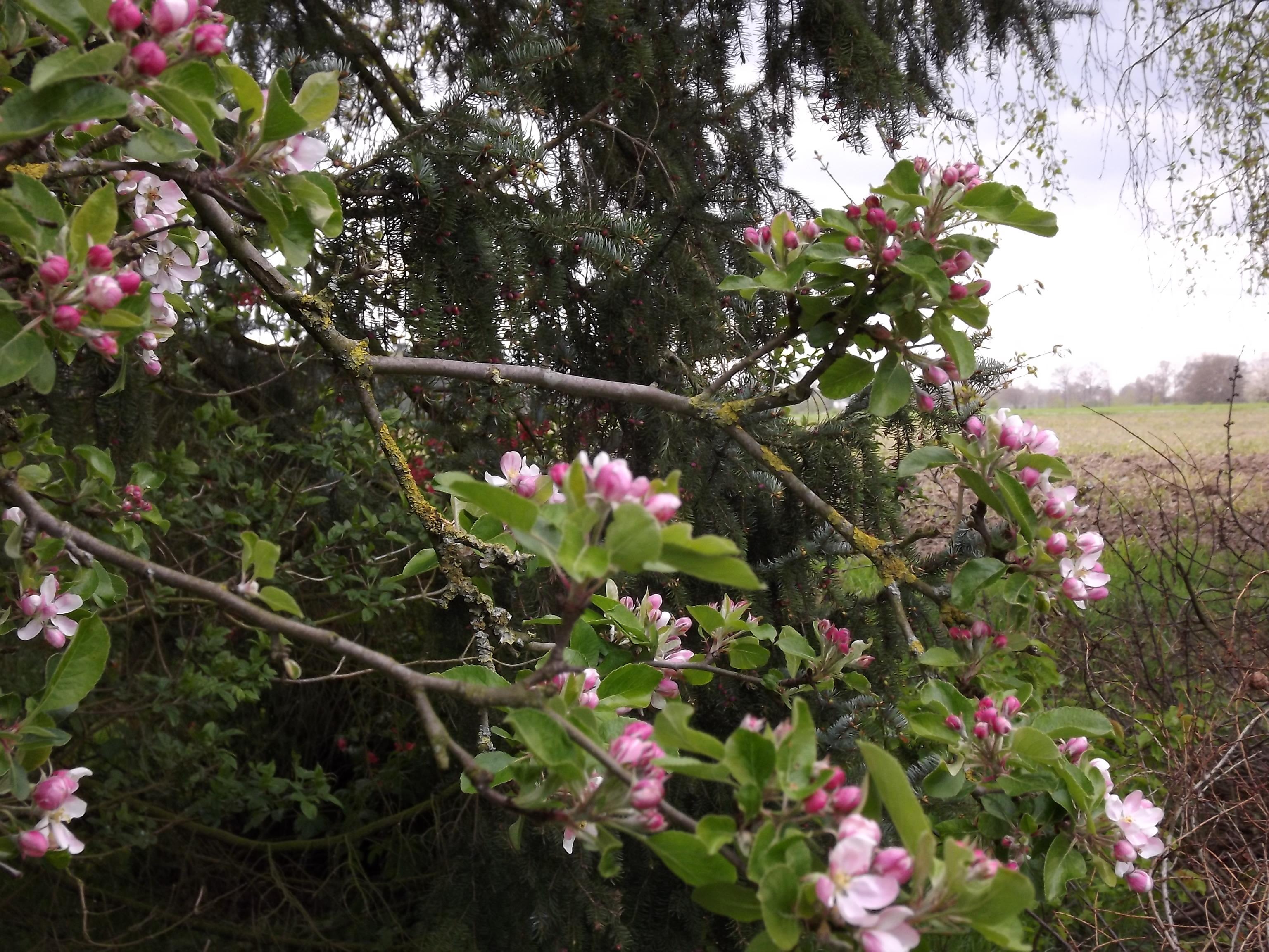 5965-apfelbaum-ast-blueten