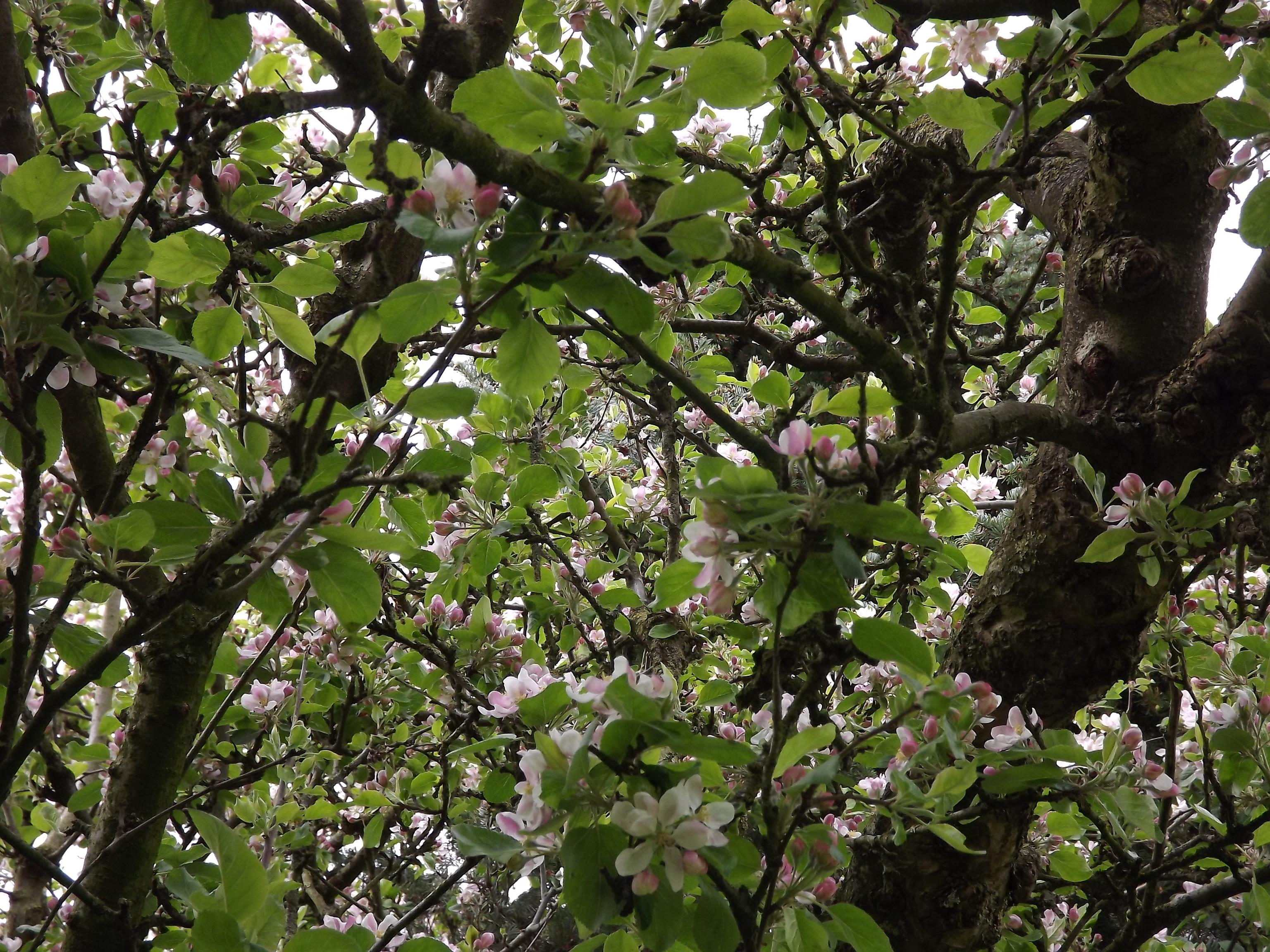 5967-apfelbaum-ast-blueten