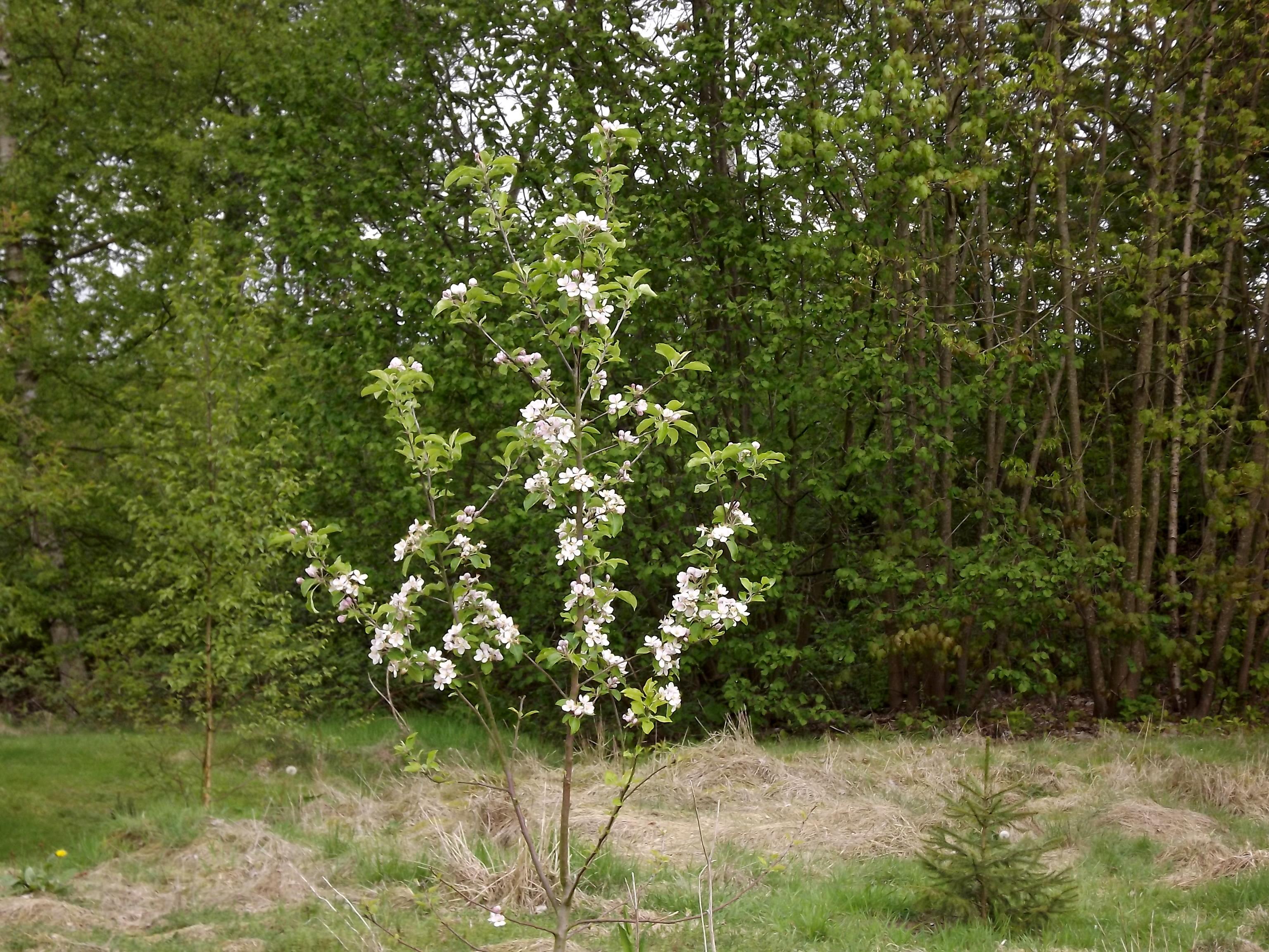 5997-junger-apfelbaum