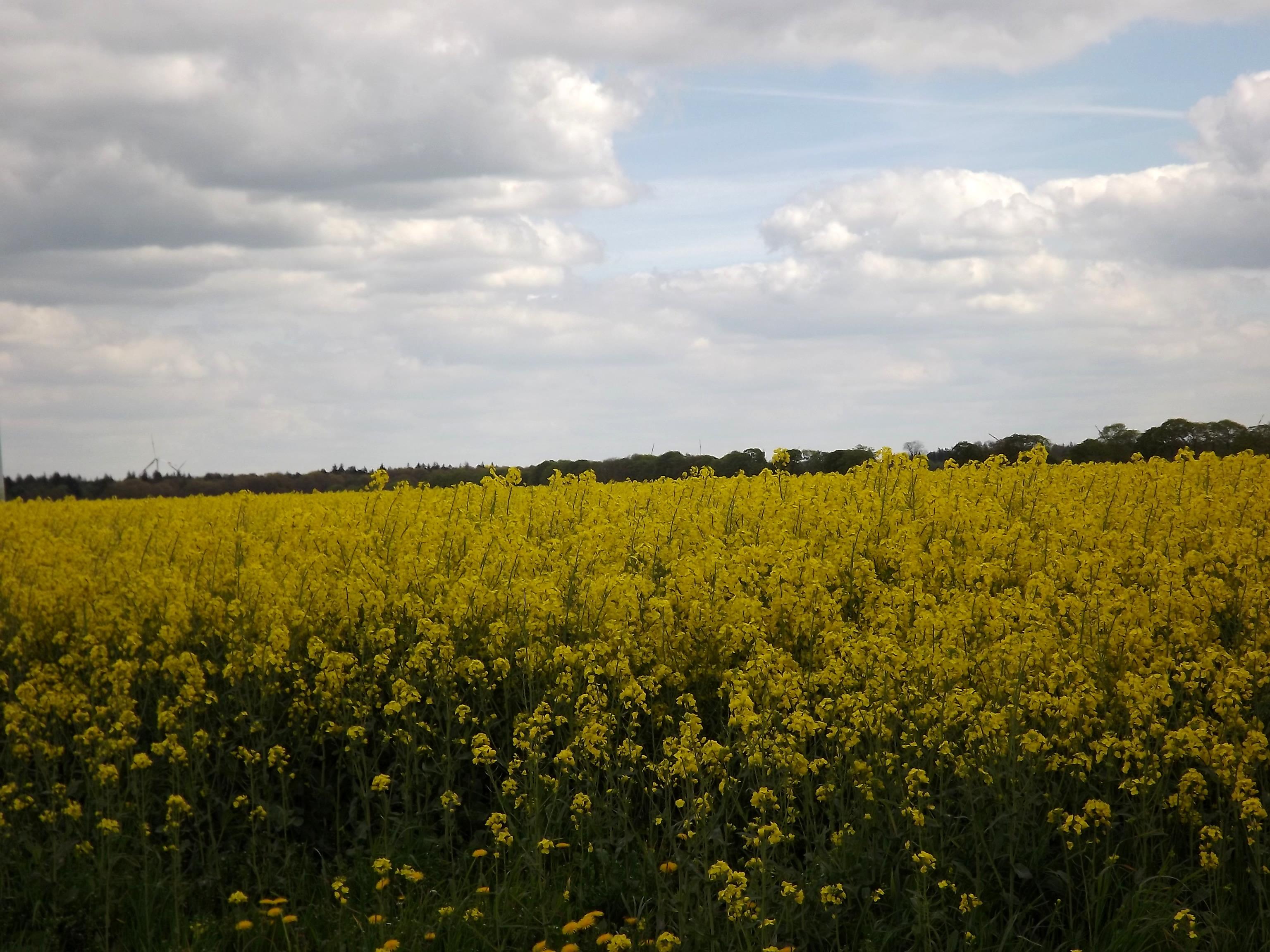 6009-gelbes-feld-wolken-sonnenschein