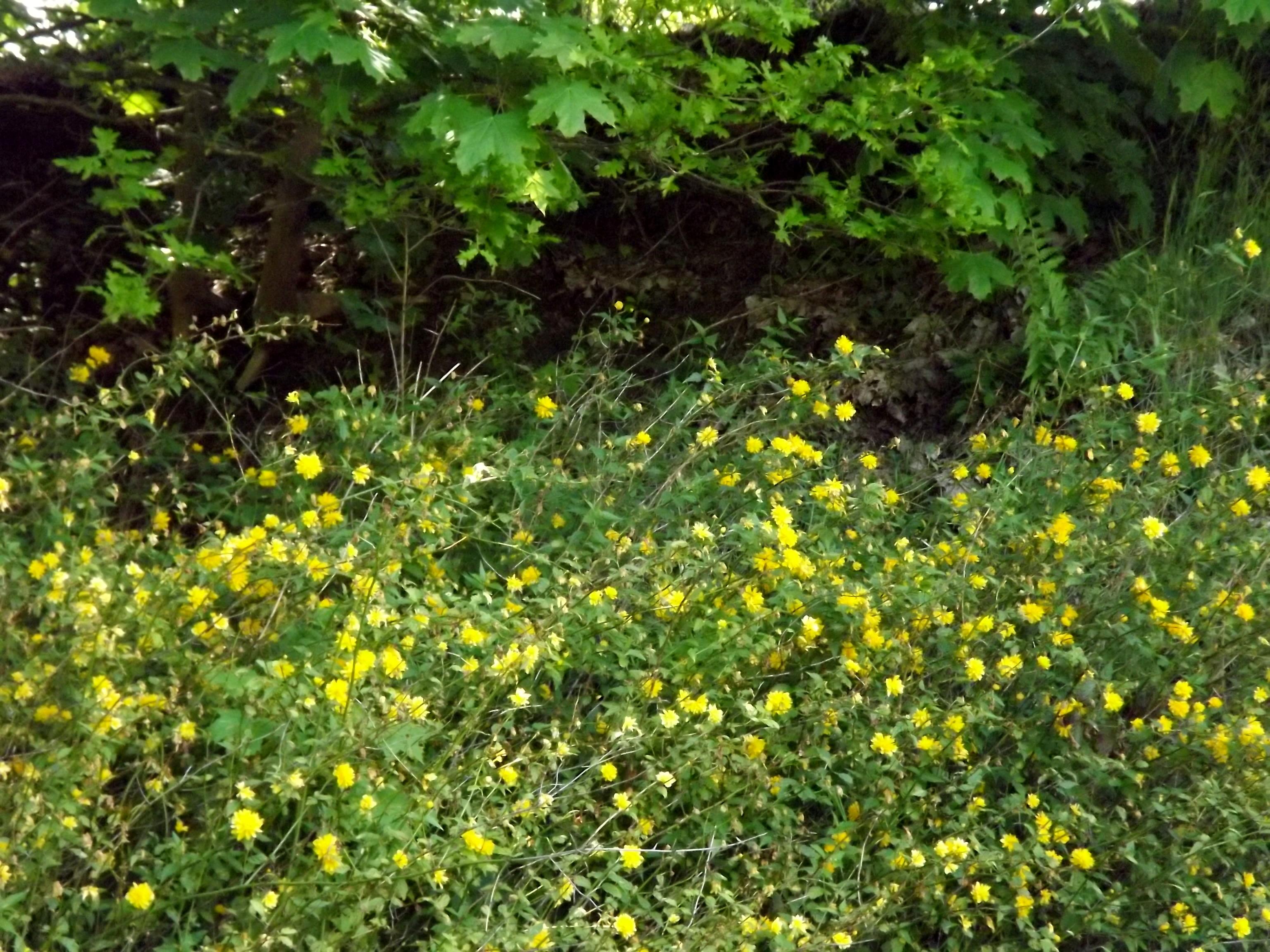 6066-gebuesch-gelbe-blueten