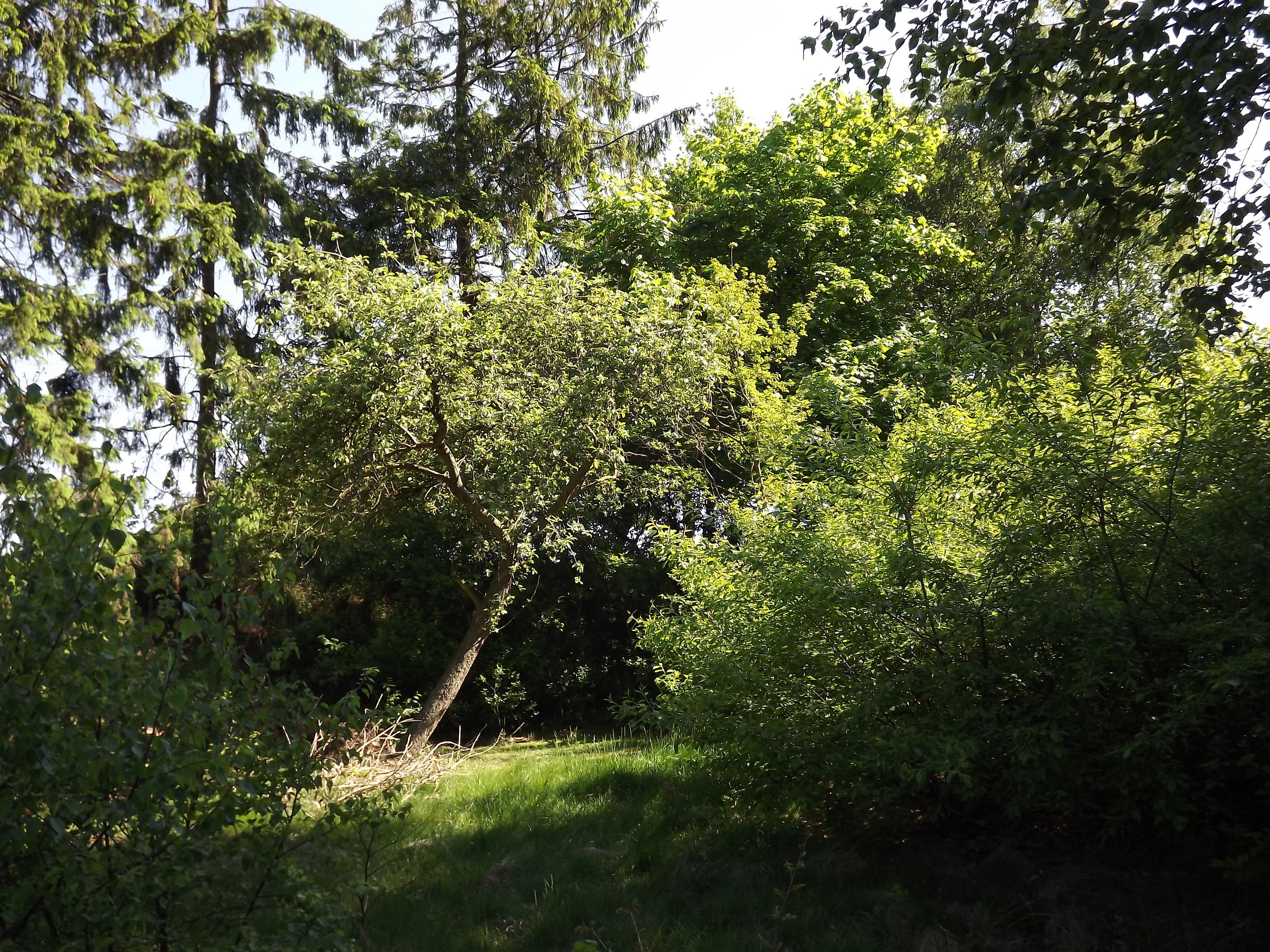 6071-apfelbaum