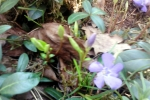 blaue-blumen