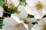 kirschbluten-sehr-gross