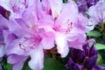 bluehnder-rhododendron