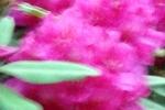 rhododendron-bluehten-boller