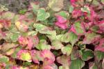 5540-himmalaja-pflanze