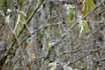 5653-blaumeise-gebuesch