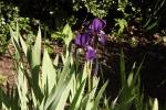 6014-iris-sonnenlicht