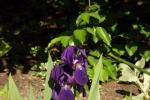 6021-iris-sonnenlicht