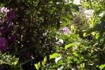 6038-flieder-rhododendren