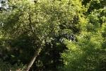 6072-schraeger-apfelbaum