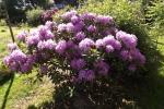 6146-bluehender-rhododendron